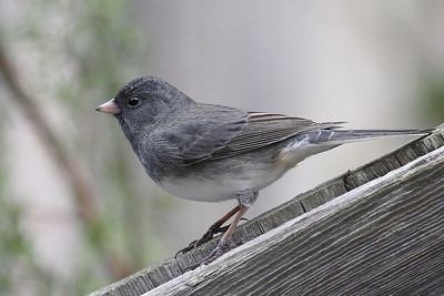 Slate colored Dark eyed Junco