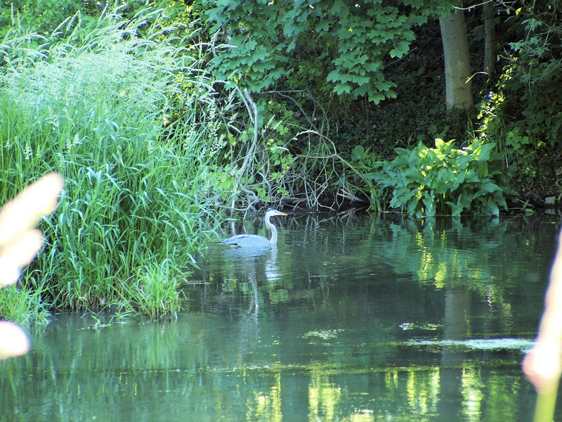 "A heron on the millrace. This was a very difficult shot because the heron was in the shade and the sun was directly on the camera. No ""good"" place to take a shot was available."