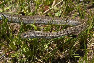 Dead garter snake that I fished from a small stream in a meadow along CA highway 270 near the Bodie ghost town.