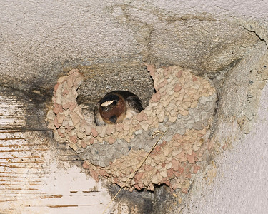 A swallow in its nest under the eaves of the Mono Lake Visitor Center.  Not happy with all the attention from the tourists.