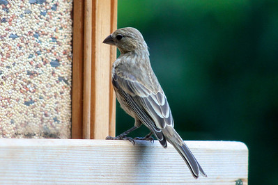 Yellow finch baby looks so stately