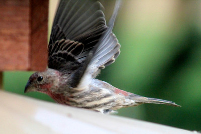 Red finch takes off
