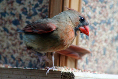 6/21 - You put your right claw in, you  put your right claw out, you put your right claw in, then you shake it all about…I caught this young female cardinal doing a little hokey-pokey dance on the feeder. Appropriate, because she's probably the equivalent of a teenager.
