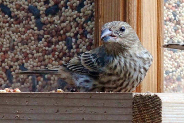 Closeup of a baby finch