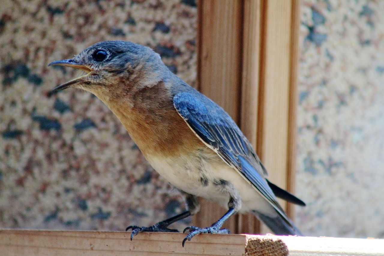 6/18 - Finally! We got to see some of our bluebirds on the day they fledged (left the nest). This little guy looks so funny, with his feathers all stubby, baby fur around his bottom, and his mouth wide open. Pretty soon he'll learn that no one is going to drop food into his mouth, and he needs to find his own food! The bluebirds and other fledgelings were cavorting all around the yard today, so there's an album of pictures.