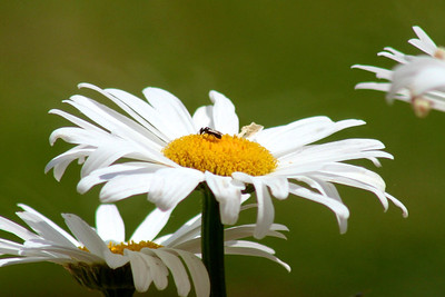The daisies continue to provide food for the bugs