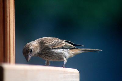 A little finch