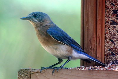 The clingiest of our fledgeling bluebirds is still hanging around. He keeps checking the birdhouse, poor guy!