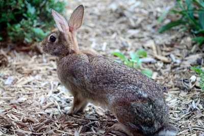 Cute bunny rabbit. I like them because they eat the weeds. Unfortunately, they also eat the inpatiens flowers….