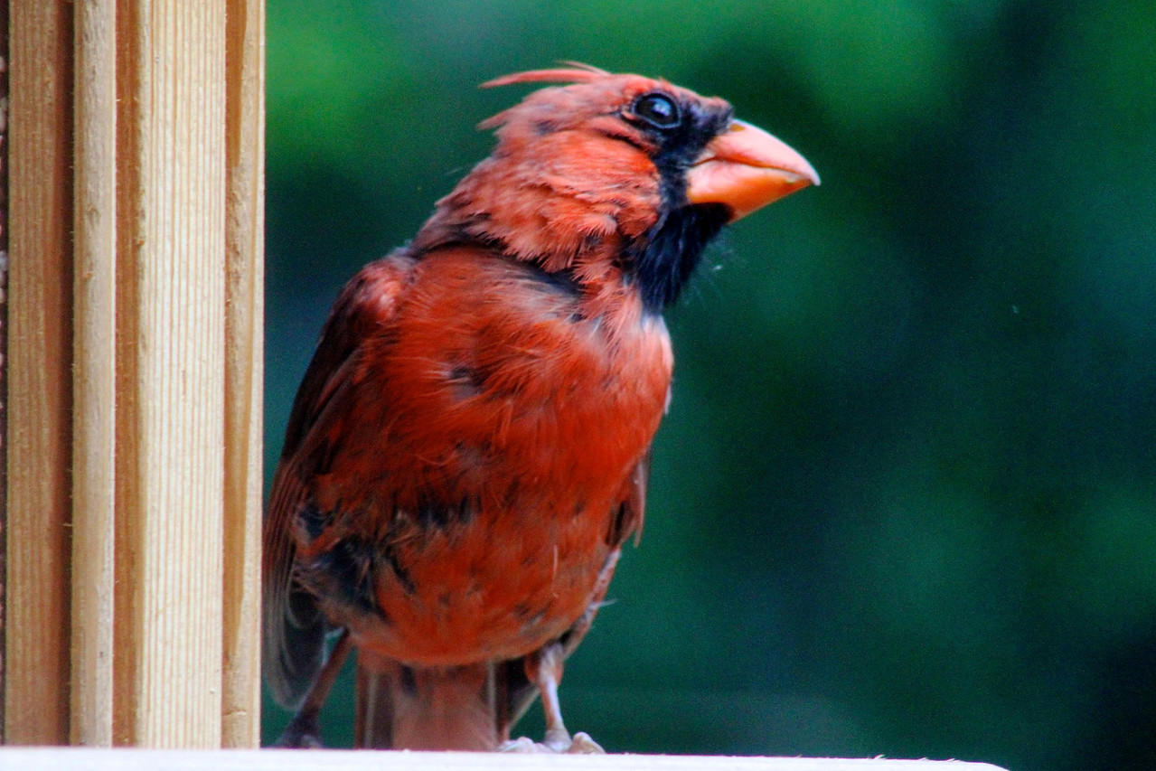 Bad-looking male cardinal! I think he's in the process of molting