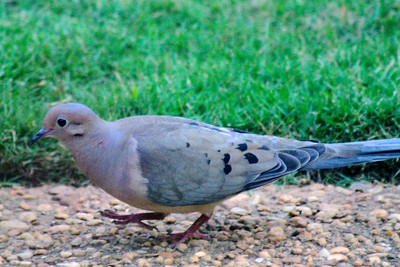 Pretty mourning dove scavenging spilled seeds on our garden path