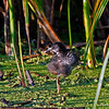 Virginia Rail Chick Snake Creek Marsh - Greene Co. Iowa