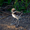 Killdeer chick - Boone County