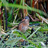 Adult Virginia Rail Snake Creek Marsh - Greene Co. Iowa