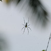 This is a very big spider.  Approx. 9 inches in length.  The web was between two trees.