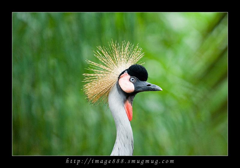 East African Crowned Crane<br /> (Balearica regulorum)