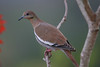 White winged dove in light rain