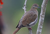 Another White Wing Dove