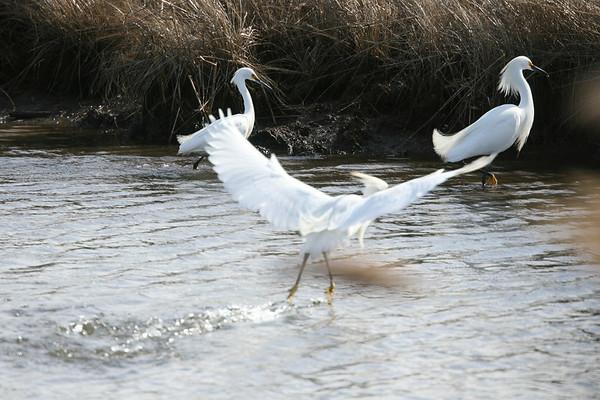 Juvenile Egrets