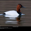 Nothing fancy, but it's a canvasback!  Really hard to get these guys exposed properly.