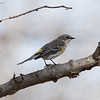 First Yellow-rumped Warbler of Spring.