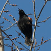 "An early Red-winged Blackbird was belting out a ""Con-Ker-Eee!"" with all his might."