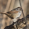 "A Swamp Sparrow popped up when I ""shooshed""."