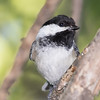 Chickadee disturbed by the commotion?