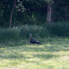 Wild Turkey at the edge of the woods.