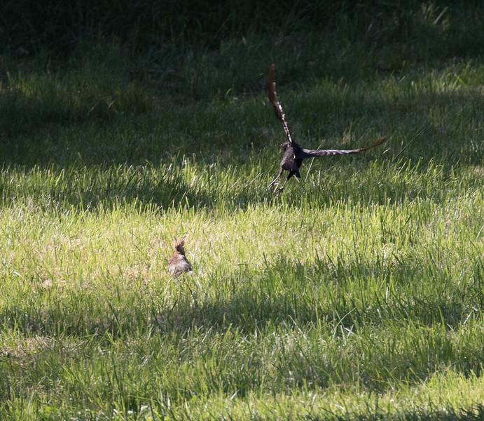This rabbit was chasing a crow around.