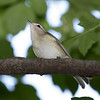 I irritated a Warbling Vireo by playing its song.