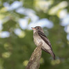 Wood Pewee again