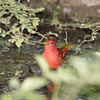 While I was trying to get closer to the Swainson's Thrush, I saw this Summer Tanager taking a bath in the stream.