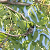 Ruby-throated Hummingbird in a tree.