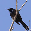 Common (Bronzed) Grackle