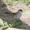 This White-crowned Sparrow was looking quite dapper.