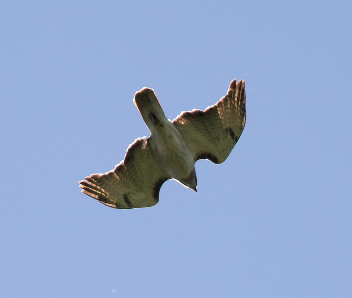 "Red-tailed Hawk in ""dive mode""."