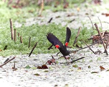 Redwing Blackbird launching