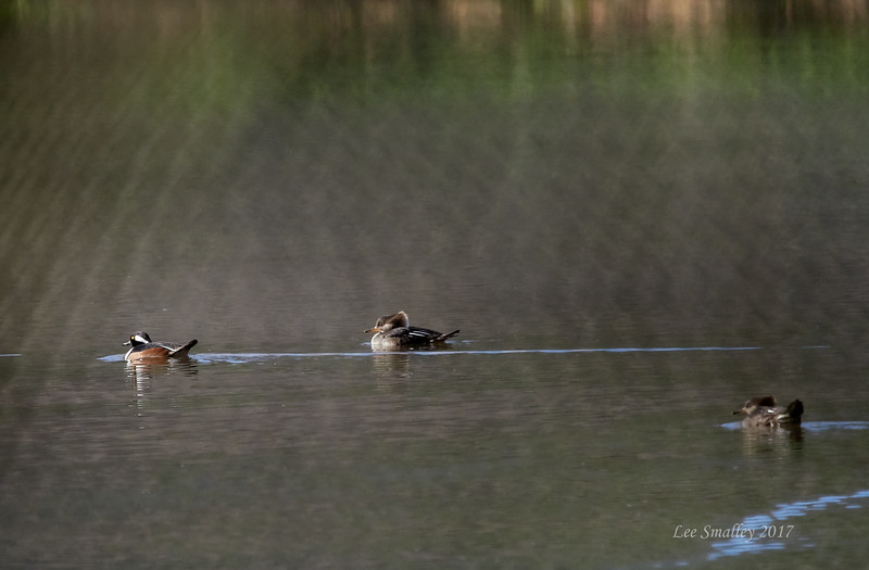 Hooded Merganser - male and 2 females thru chain-link fence