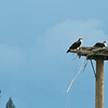 KY -Osprey on their Nest