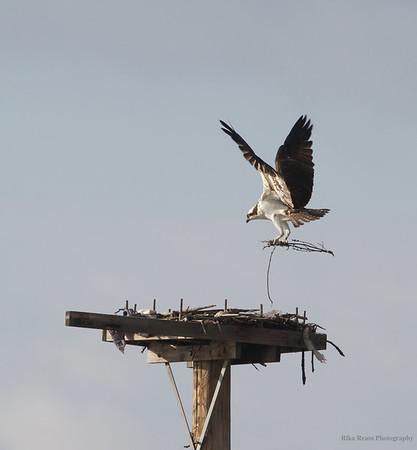 KY Osprey'13