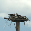 KY Osprey Nest, April 13th 3