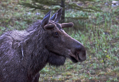 Young Bull Moose near Kananaskis