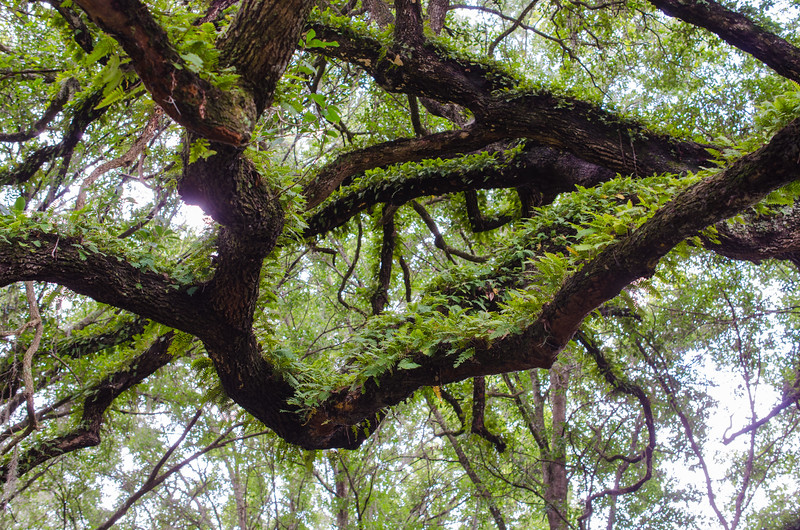 Live Oak canopy with Resurrection Fern