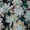 Grey Ghost Plant