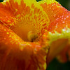 Canna Lilly close-up