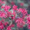 Lorapetalum Flowers