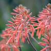 Red Soap Aloe Flowers
