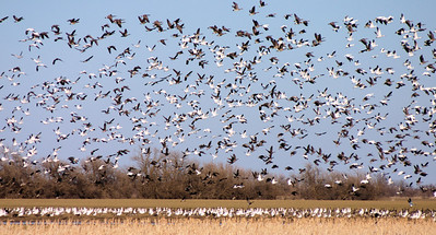 Central Flyway - McPherson Valley Wetlands - 2008