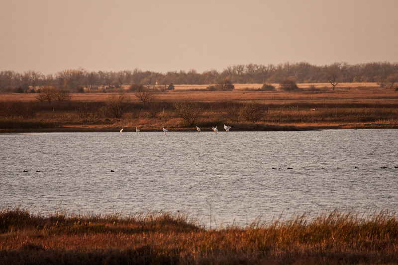 Whooping Cranes Settling Down for the Night